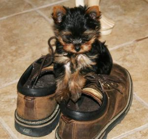 Another sexually precocious Yorkie deflowers your shoes.